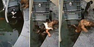 Sudan Çıkamayan Kediyi Sırtına Alarak Kurtaran Kahraman Köpek!