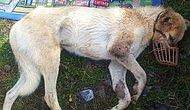 Niğde'de Acımasızca Vurulan Köpeğin İstanbul'a Uzanan Hikayesi