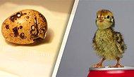 Marketten Satın Aldığı Yumurtaları Yemeyip Bıldırcın Yavrusu Dünyaya Getiren Güzel İnsan!