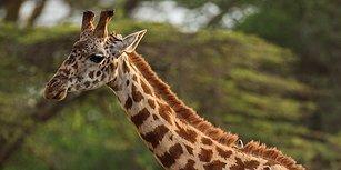 Dünyanın En Uzun Memelisi Olan Zürafaların Neslinin Tükenmek Üzere Olduğu Ortaya Çıktı