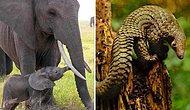 Vahşi Yaşamın Büyük Dramı! Yasa Dışı Av ve Suistimal Yüzünden Soyu Tükenmekte Olan Hayvanlar