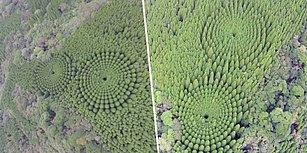 Japonya'da Bir Sedir Ormanında Mükemmel Daireler Şeklinde Büyüyen Ağaçların Gizemi Çözüldü