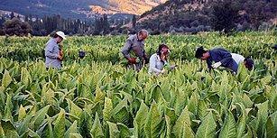 Üretici Sayısı Azalıp Üretim Düşerken: Tütünde İthalat Vergisi Sıfırlandı!