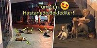Evsiz Adam Hastaneye Kaldırılınca Sokakta Baktığı Sadık Köpekler Ambulansı Takip Edip Hastane Kapısında Beklediler!