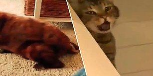 Evin Köpeği Gaz Çıkartınca Tepkisini Kusarak Gösteren Kedi