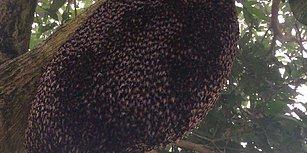 Eşek Arısına Karşı Yuvalarını Korumaya Çalışan Bal Arılarının Muhteşem Savunma Dansı