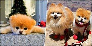 """Dünyanın En Sevimli Köpeği Boo """"Kalp Kırıklığı"""" Nedeni ile Hayatını Kaybetti!"""