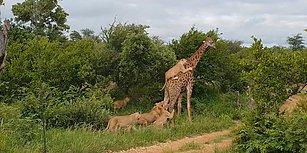 Vahşi Doğa Bildiğiniz Gibi: Aslanların Zulmüne Uğrayan Zürafa