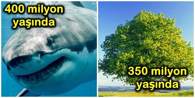 4. Köpek balıkları, ağaçlardan daha eskiye dayanır.