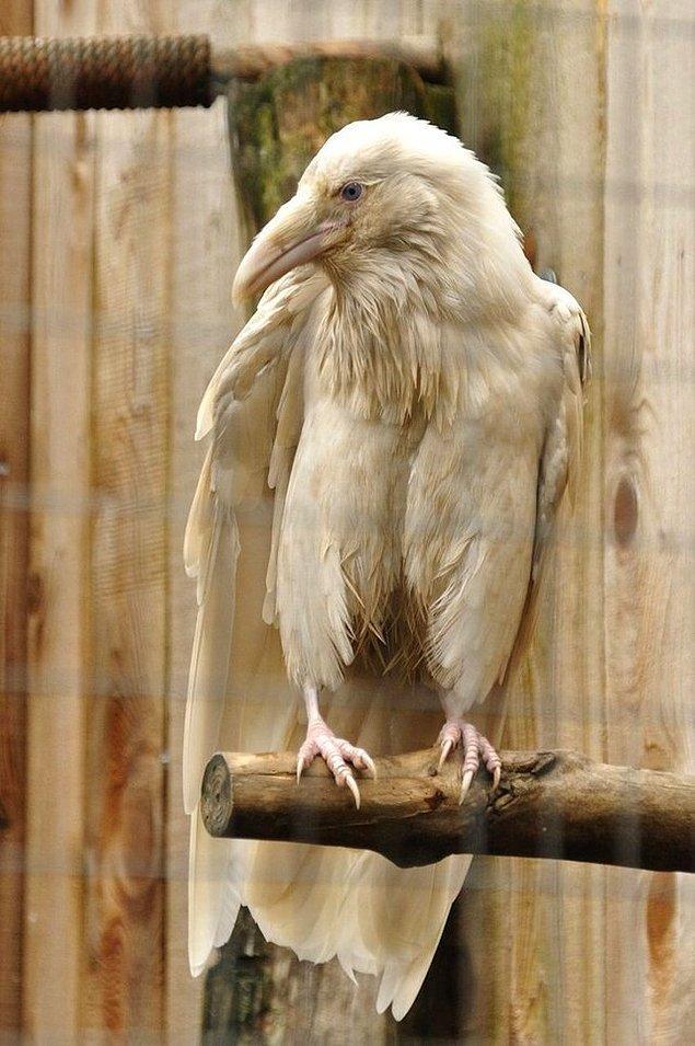 Bir albino karga.