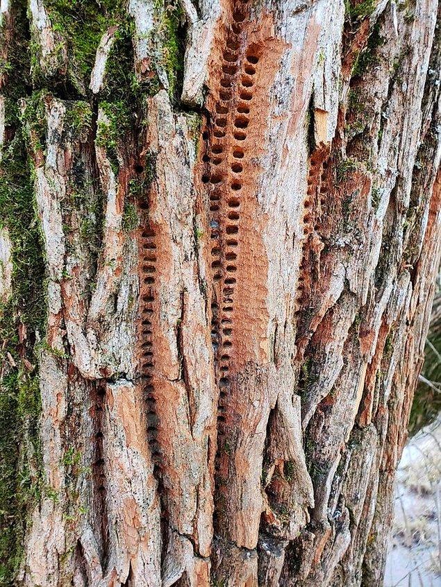 Ağaçlardaki tuhaf işaretler;