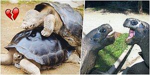 Bir Gün Aşklar Biter Hatıralar Kalır! Yaklaşık 1 Asır Süren İlişkilerinin Ardından Ayrılan Kara Kaplumbağaları Bibi ve Poldi
