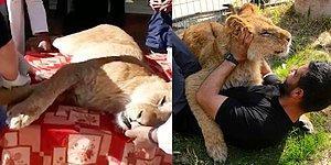 Filistin'de Bir Hayvanat Bahçesinde Ziyaretçilerle Oynasın Diye Pençeleri Cânice Kesilen Aslan