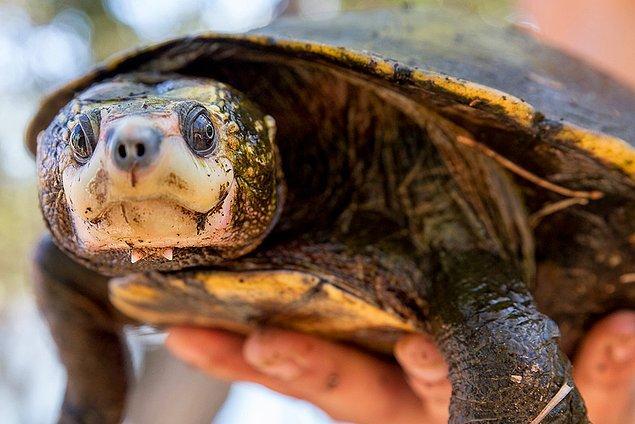 4. Tehlikeli bir kaplumbağa türünü keşfetti...