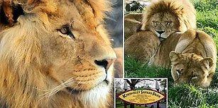 Lider Olmasını İstemedikleri İçin Safari Park'taki Erkek Aslanı Öldüren Dişi Aslanlar!