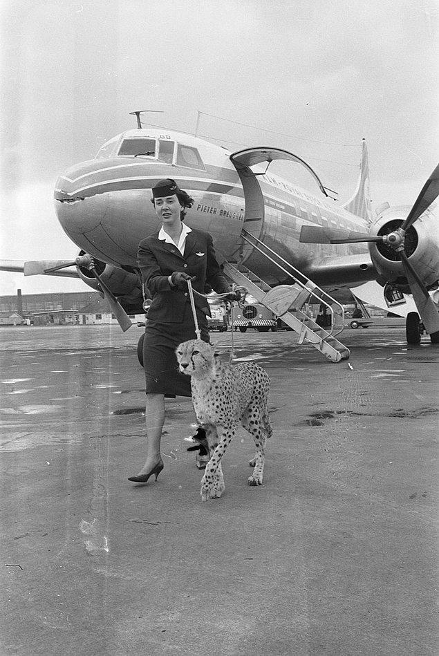 7. Bir kabin görevlisi Amsterdam havaalanında çitayı yürüyüşe çıkarmış, 1961.