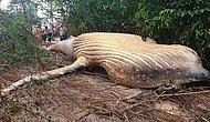 Amazon Yağmur Ormanlarında Ölü Bulunan Kambur Balina Bilim İnsanlarını Şaşkına Çevirdi!
