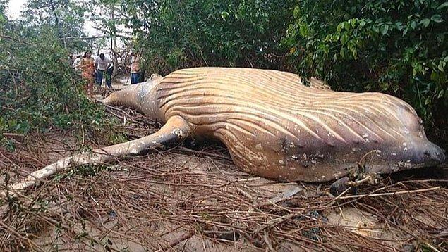 Geçtiğimiz hafta cuma günü, Marajo Adası'nda bulunan balina Araruna plajına yaklaşık 15 metre uzakta ormanın içinde yerde yatıyordu.