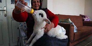 Bebek Beziyle Bezledikleri Kuzuya Evde Bakan Güzel İnsanlar!