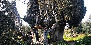 Bir Tarih Yok Oldu: Bursa'nın İznik İlçesinde 700 Yıllık Anıt Ağaç Yakılıp, Dalları Kesildi