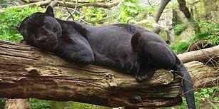 Hayvanat Bahçesinde Bariyeri Aşıp Selfie Çekmeye Çalışan Kadına Jaguar Saldırdı