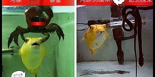 Akvaryuma Atılan Hiçbir Şeyi Affetmeyerek Adeta Katliam Yapan Kirpi Balığı