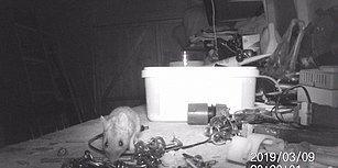 Girdiği Kulübedeki Dağınık Eşyaları Sürekli Olarak Toplayan Düzen Meraklısı Fare