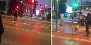 İnsanlar Kırmızı Işığa Aldırmadan Geçerken, Yolun Karşısına Geçmek İçin Yeşil Yanmasını Bekleyen Köpek