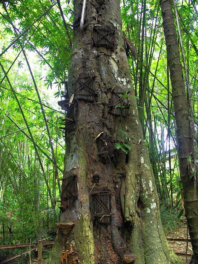 Endonezyalı Toraja kabilesi, ölen bebeklerini büyümekte olan ağaçların kovuklarına gömüyor. Onların doğa tarafından kabul edildiğine inanıyorlar!