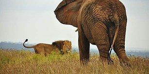 Orman Canilere Karşı Ayaklandı: Bir Avcı, Fil Tarafından Ezilerek Aslanlara Yem Oldu