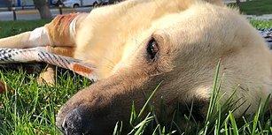 Vurulduktan Sonra İyi İnsanların Elinde Yeniden Hayata Tutunan Köpeğin Muhteşem Değişimi!
