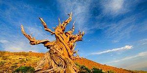 Bu Fotoğraflardaki Ağaçlardan Hangisi Daha Yaşlı?