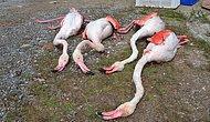 Yumurtlamak İçin Gelmişlerdi: Aksaray'da Dört Flamingo Tüfekle Vurularak Öldürüldü