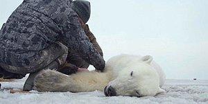 Doğal Yaşam Alanından 700 Kilometre Uzakta Bulunan Kutup Ayısı Uyutularak Yaşam Alanına Bırakıldı