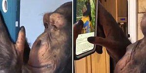 Akıllı Telefondan Instagram Uygulamasını Çoğumuzdan Zarif Kullanan Şempanze