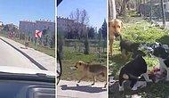 Yavrularının Karnını Doyurabilmek İçin Kilometrelerce Yürüyerek Mama Getiren Anne Köpek
