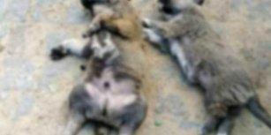 Yine Zehirli Et Yine Vahşet: Balıkesir'de 4 Köpek ve 3 Kedi Katledildi