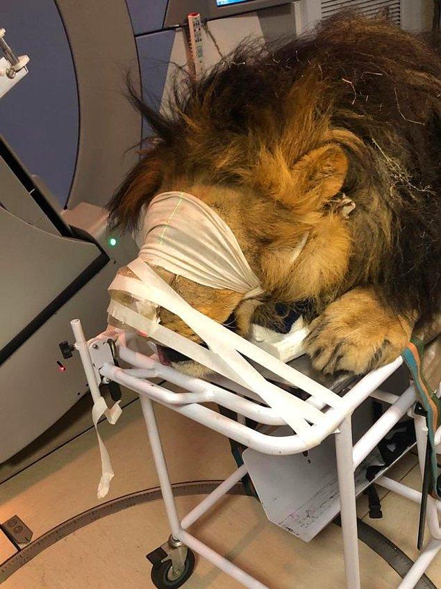 260 kg'lık aslan 'Chaos', önce anestezi altında sakinleştirildi. Bir sedyeye bağlanan aslan, cilt kanserinin tedavi edilmesi için beşeri Muelmed Mediclinic hastanesine arka kapıdan sokuldu.
