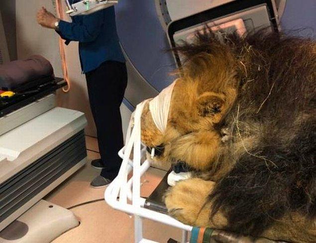 Kaos, 1 ay daha sürecek olan tedavi boyunca, bir dişi aslan ile birlikte tutulduğu alanda gölgede tutulacak.