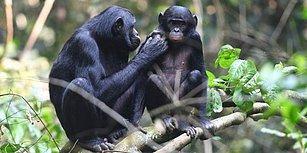 Anne Cüce Şempanzelerin, Erkek Yavrularının Seks Hayatına Gerçekten Müdahale Ettiklerini Biliyor muydunuz?