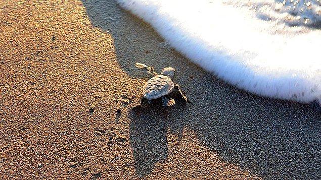 Bölge deniz kaplumbağalarının yumurtlama alanı
