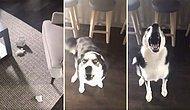 Yaptığı Yaramazlık Sonrası Azar İşiteceğini Anlayınca Mükemmel Bir Taktikle İşin İçinden Sıyrılan Köpek