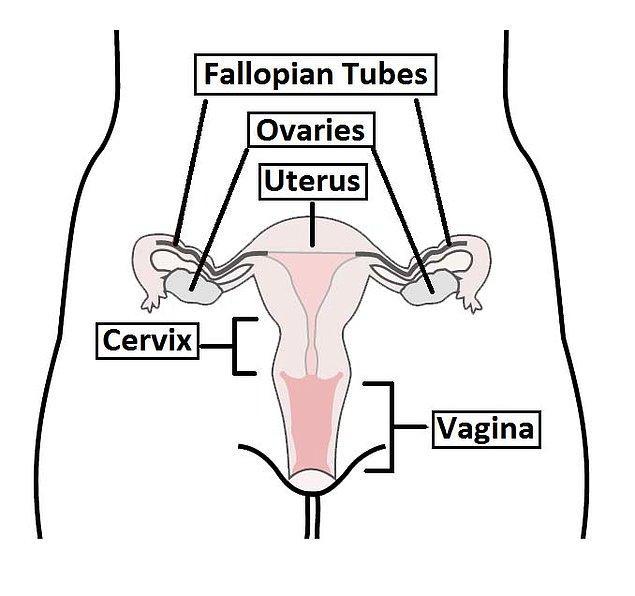 Oysa vajina aslında bir iç organ ve dışarıdan görülmez.