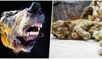 Bilim Dünyasında Önemli Keşif: Sibirya'da Bulunan Kurt Kafası ve Yavru Dağ Aslanı En Az 30 Bin Yıllık Çıktı!