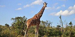 Safari Parkında Milyarda Bir Düşen Yıldırım Yüzünden Hayatını Kaybeden Zürafalar Lily ve Jioni