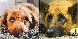 Köpeklerin Asla Karşı Koyamadığımız O Acıklı Bakışları, İnsanları Etkilemek İçin Geçirdikleri Evrimin Sonucuymuş!