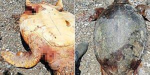 İnsanlar Çıldırmış Olmalı! Antalya'da Biri Bıçaklanmış Biri de Tüfekle Vurulmuş 2 Caretta Caretta Bulundu