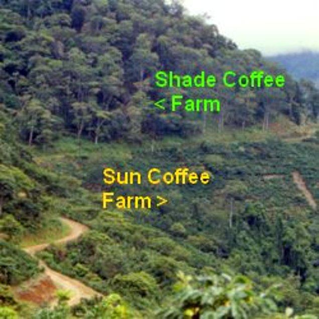 Ancak 'Shade Coffee' olarak bahsedilen ve gölgegede yetişen kahve, doğayı ve kuş çeşitliliğini koruyor.