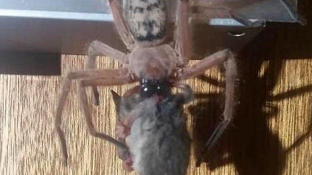 Korkunç hayvanlarıyla ünlü bir ülke olan Avustralya şöhretini  bir örümceğin sıçanı yediği viral görüntülerle bir kez daha sağlamlaştırdı.