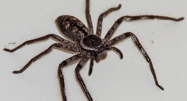 Huntsman örümceğinin yemeği olan bu sıçan sadece Avustralya'ya özgün iken, Huntsman örümcekleri Antarktika dışında her kıtada bulunmaktadır.